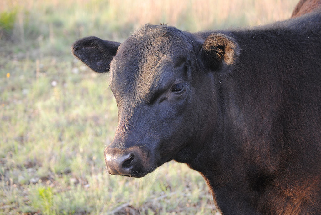 Cattle Country - Brownwood Texas